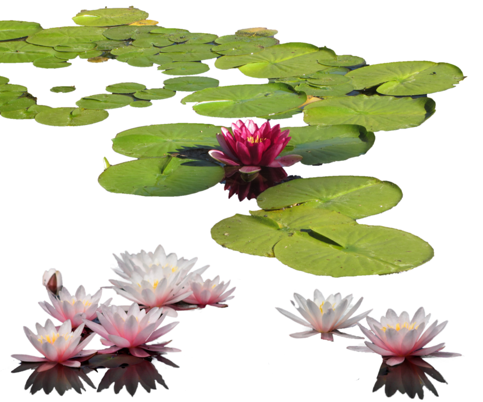 Acuaticas Water Lily Png By Mariasemelevich Plants Trees To Plant Water Lily