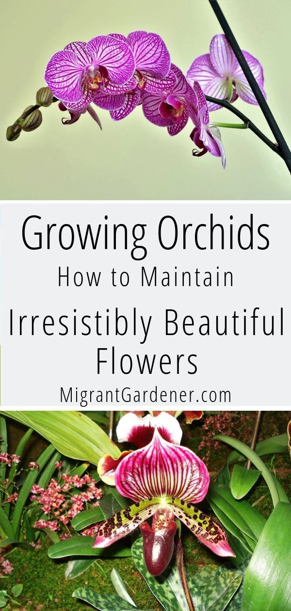 growing orchids with beautiful flowers | growing orchids as houseplant | growing orchids watering #growingorchids growing orchids with beautiful flowers | growing orchids as houseplant | growing orchids watering #growingorchids