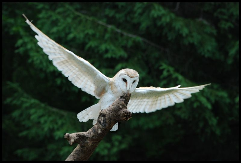 """viα feather-haired: Barn Owl by Novastar2486 ❁"""
