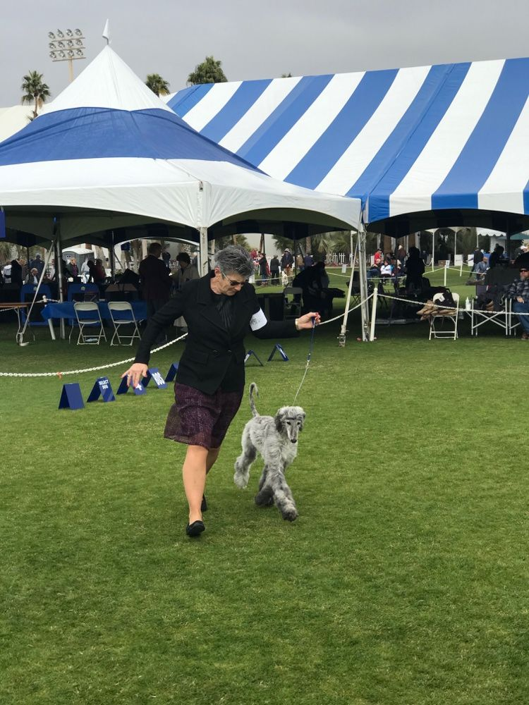 Keeshond In The Ring At The Akc All Breed Show Palm Springs