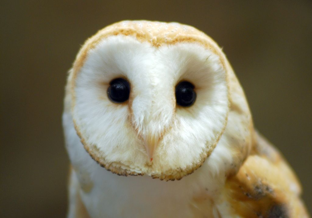 Cute Barn Tyto Owl Wallpaper Barn Owl Owl Barn Owl Pictures Barn Owl Images