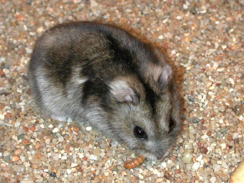 Striped Dwarf Hamster Dwarf Hamster Dwarf Hamster Care Russian