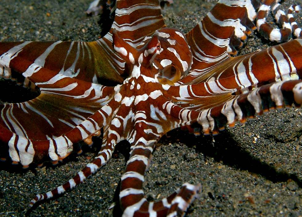 Pin by Điana on Wildlife & other animals Mimic octopus
