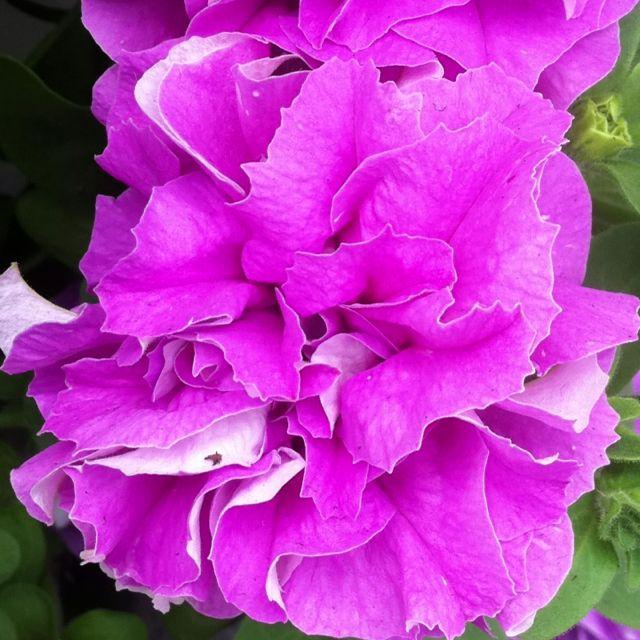 Dubbelbloemige petunia #flowertrials