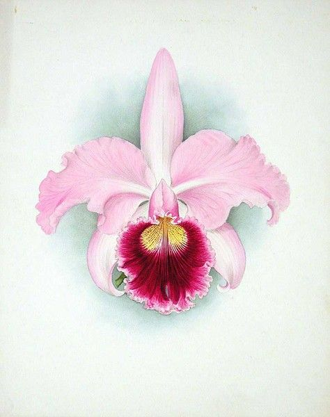 Orchid Cattleya Enid Orchid Drawing Floral Painting Flower Drawing