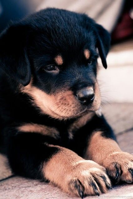 Rottweiler Puppies: Cute Pictures And Facts