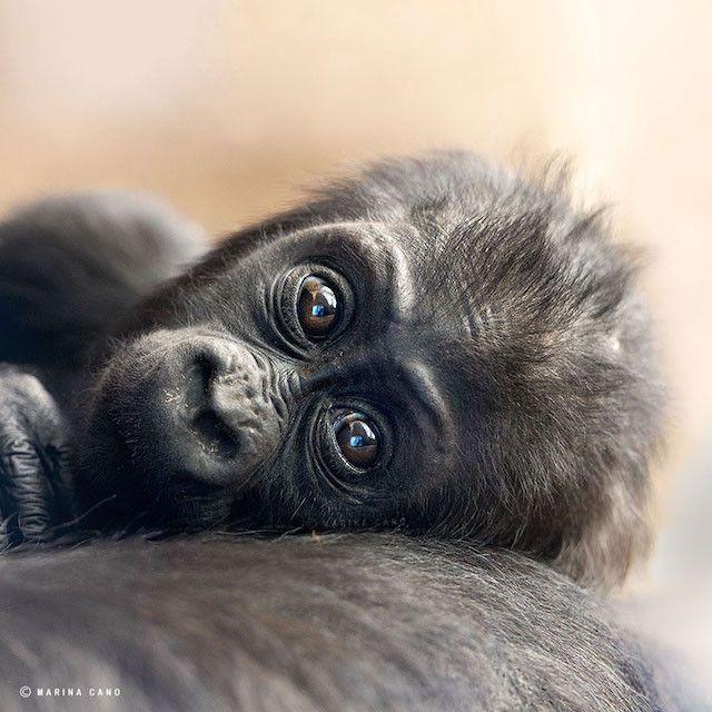 Gorila bebe - Foto de Marina_Cano_011