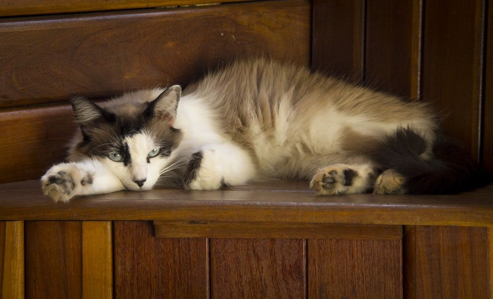 Long Fur Brown And White Cat Lying On Brown Wooden Panel Cat Food Best Cat Food Cats