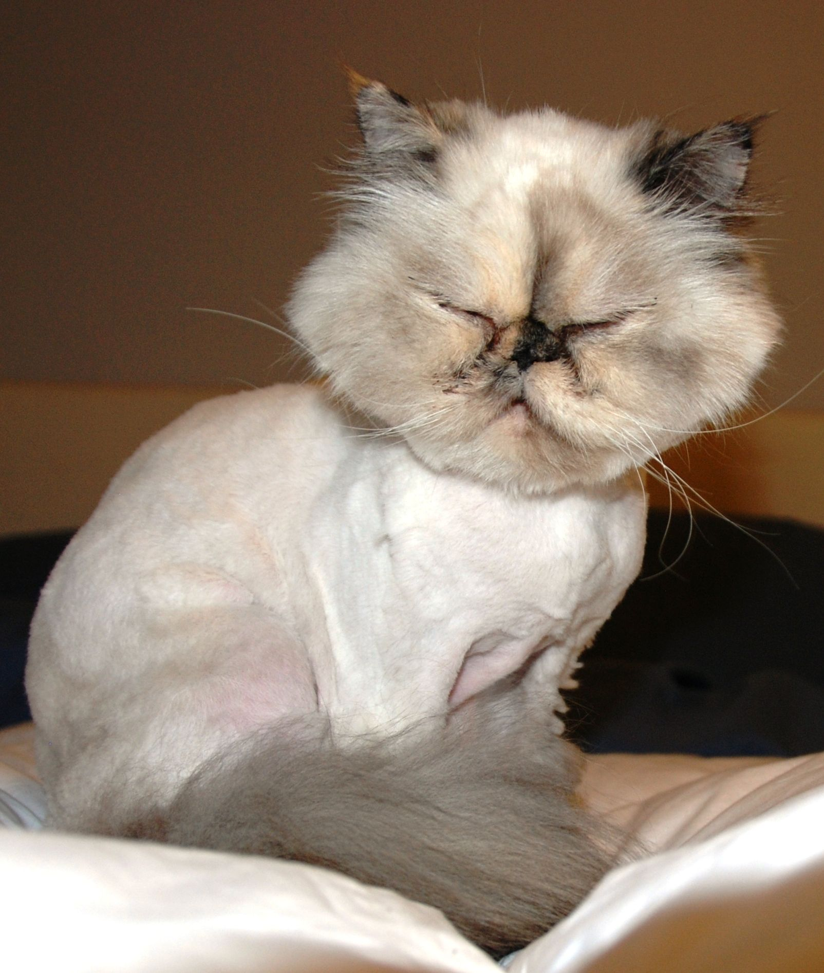 Wonderful  Persians For Sale  Page 2  Cats  Pinterest  Persian Cats And We