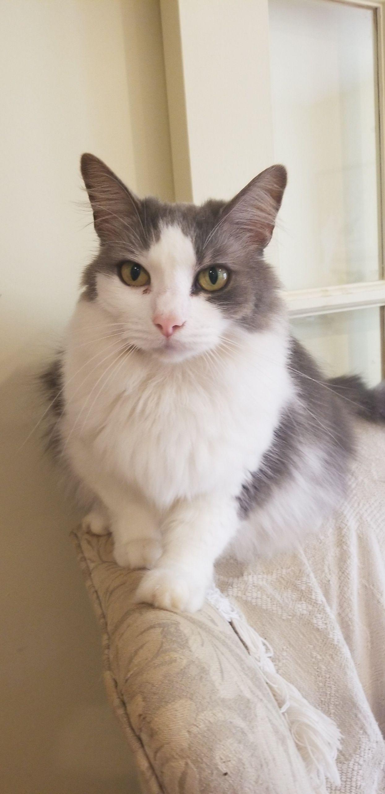My pretty Cashew Cats, kittens, Grey, white cat, Cats