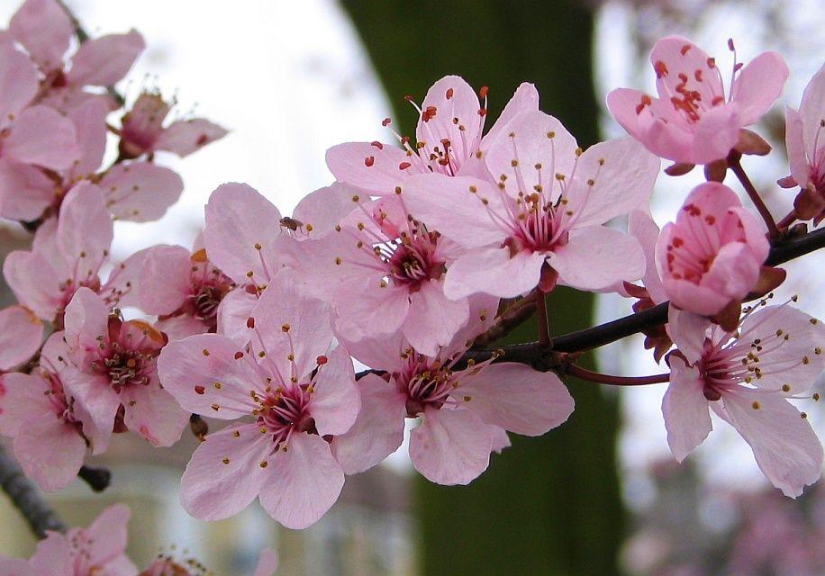 Cherry Blossom By Coshipi On Deviantart Cherry Blossom Cherry Blossom Tree Blossom Trees