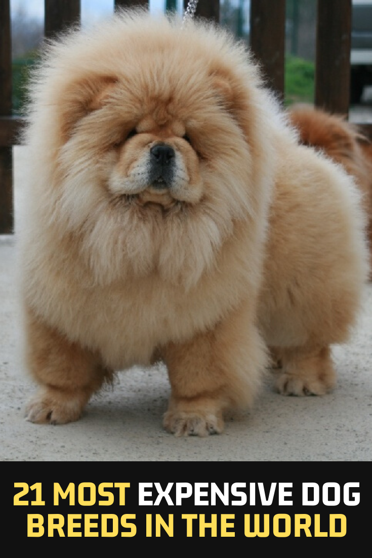 21 Most Expensive Dog Breeds In The World Most Expensive Dog Dog Breeds Expensive Dogs
