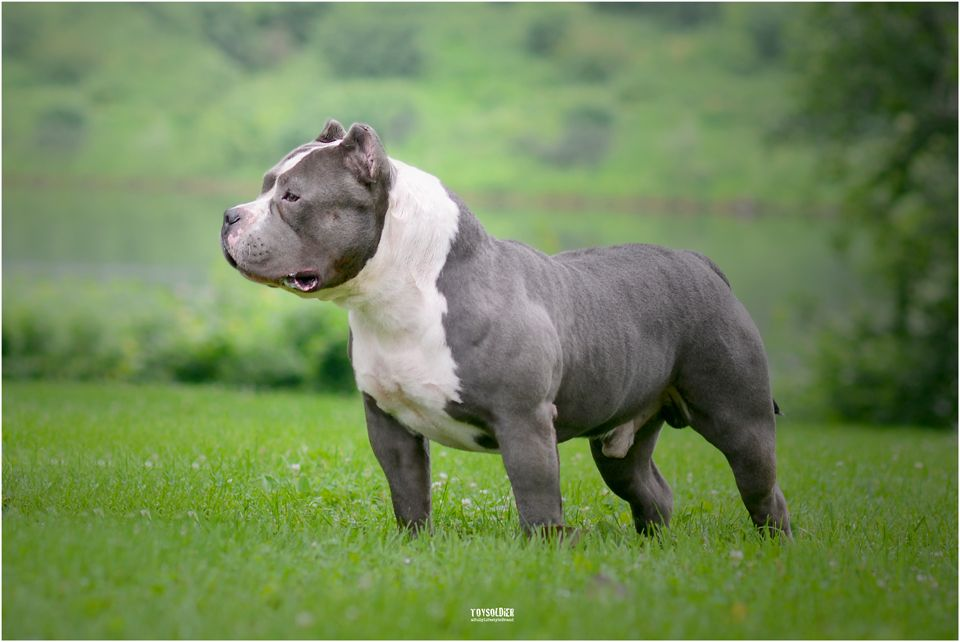 Mascot Grand Champion Grape Ape Of Iron Bone Bullyz Bully Breeds American Bully Dogs