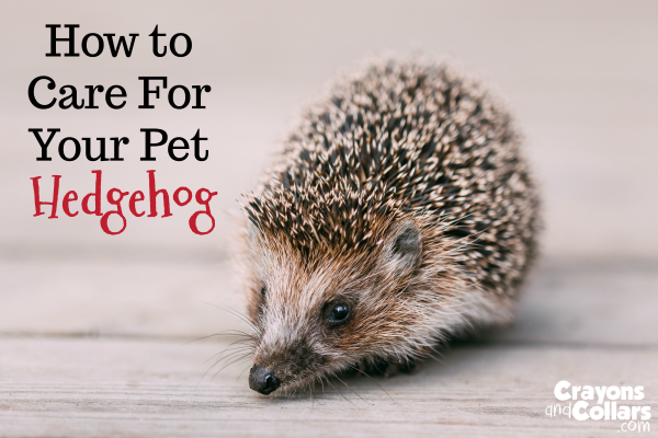 Pet Hedgehog Care And Hedgehog Diet Hedgehog Pet Hedgehog Care Hedgehog Diet
