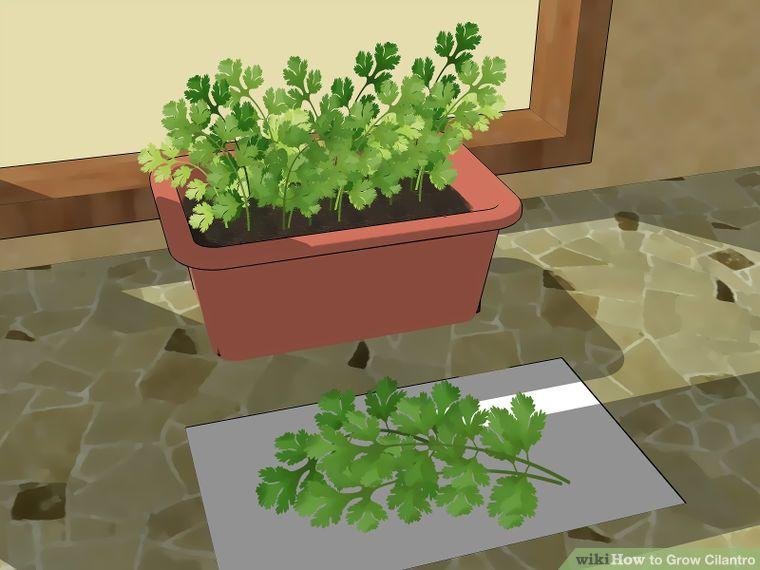 How to grow cilantro growing cilantro grow cilantro