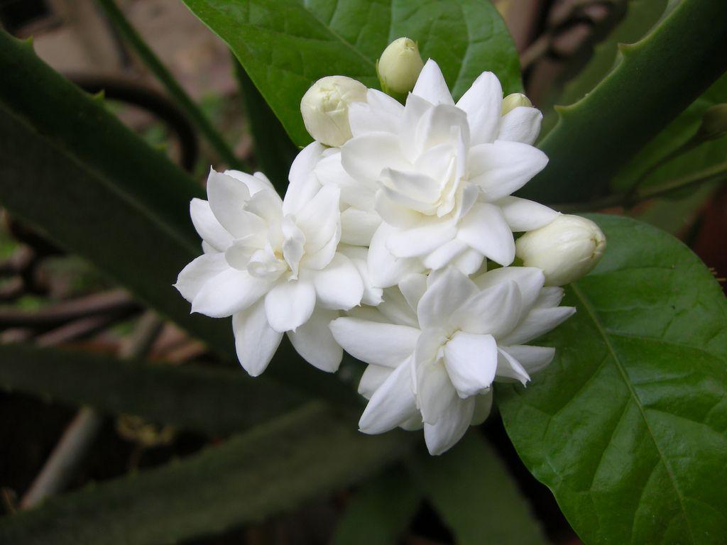 Beli Ful Flowers Of Bengal Pinterest Flowers Arabian Jasmine