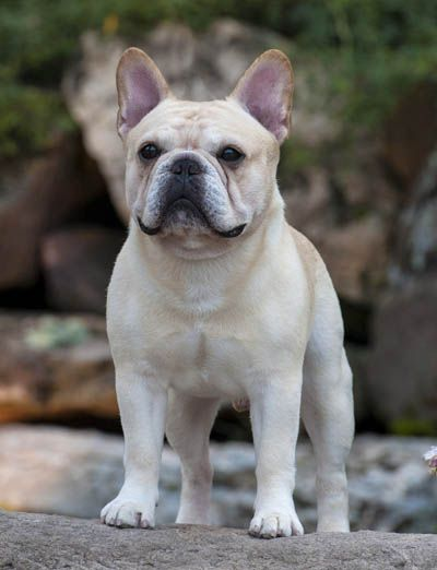 Pin On Love My Frenchie Loads Of Personality