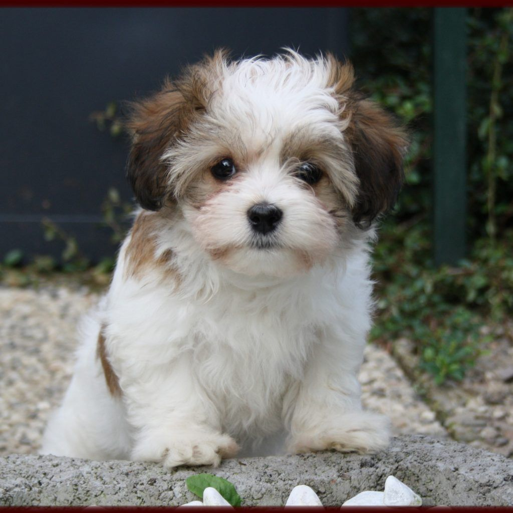 Bichon Havanais | World of Animal | Havanese dogs ...