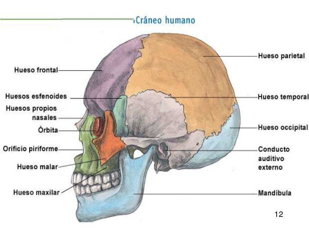 03- LOS HUESOS - ANATOMÍA APLICADA 1BAC (CURSO 17 - 18) | Anatomía ...