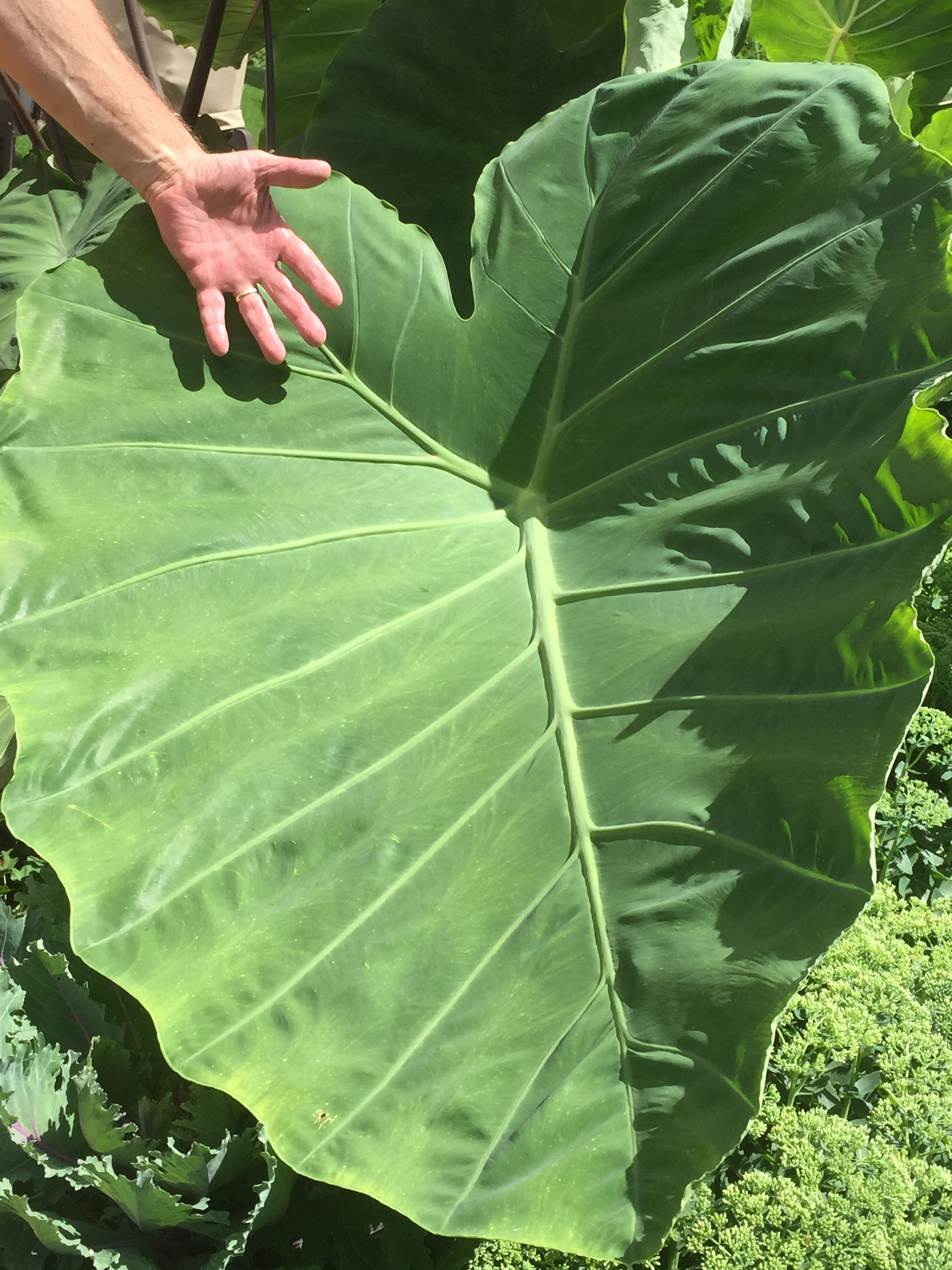 This Mammoth Elephant Ear Plant Is Taking Over My Garden Pencetakan