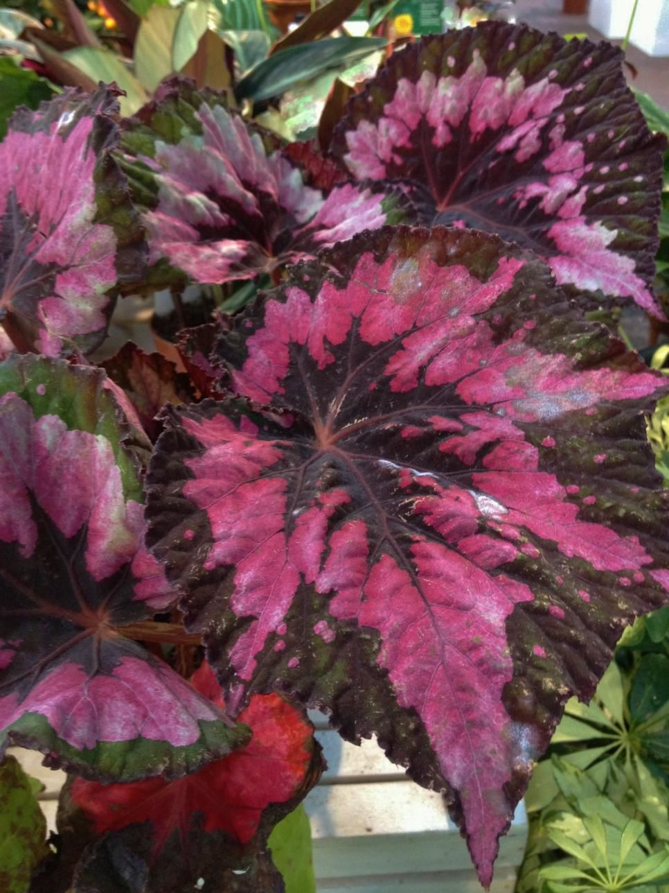 REX BEGONIA These Houseplants Are Perfect For Homes And Offices With Little  Or No Natural Sunlight.