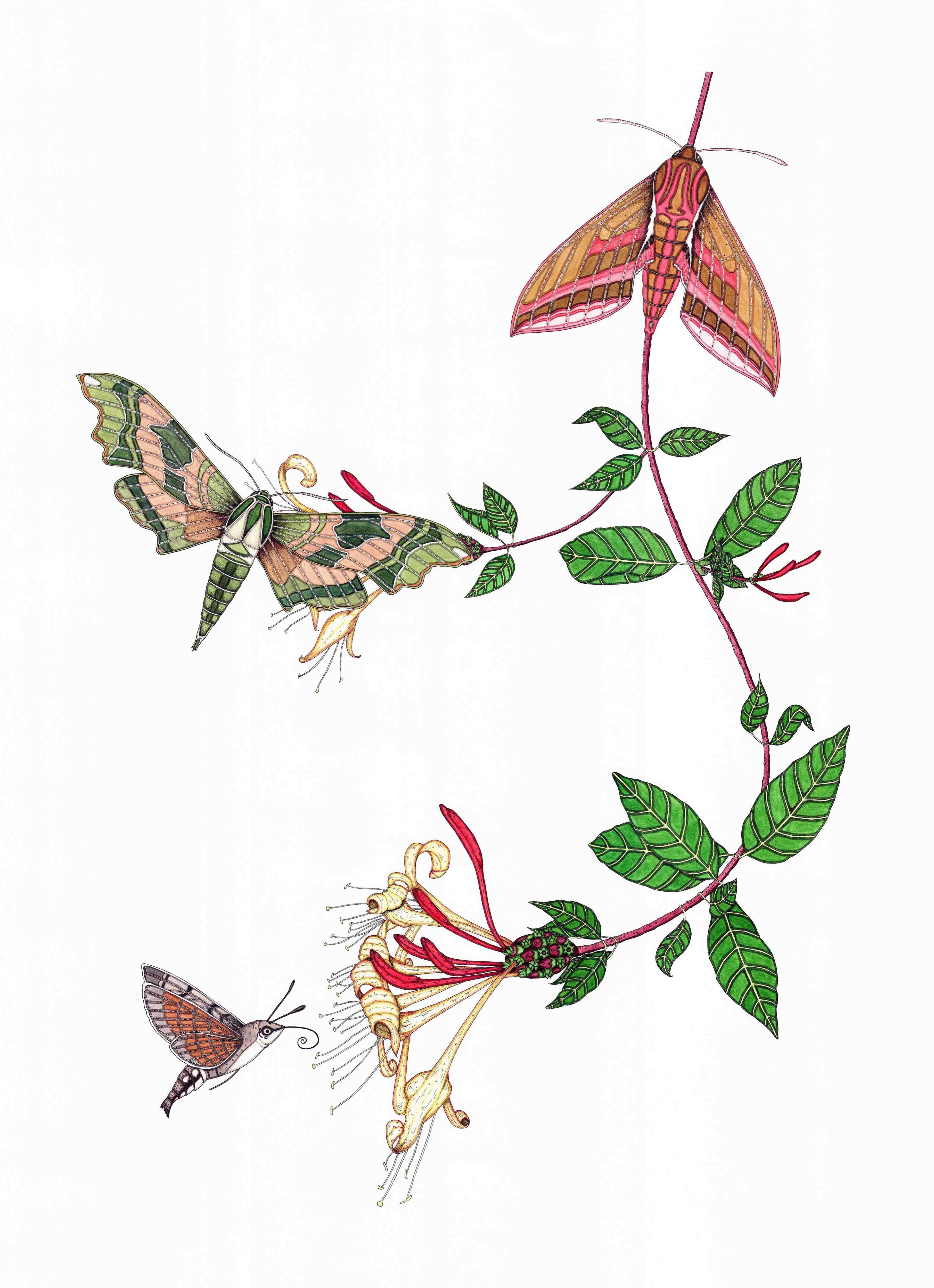 Moths & Honeysuckle
