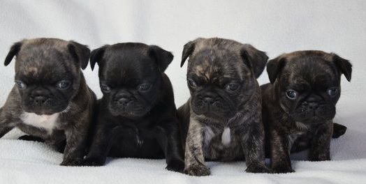 Omg Look At These Guys They Look Like The Thugs Of The Pug World