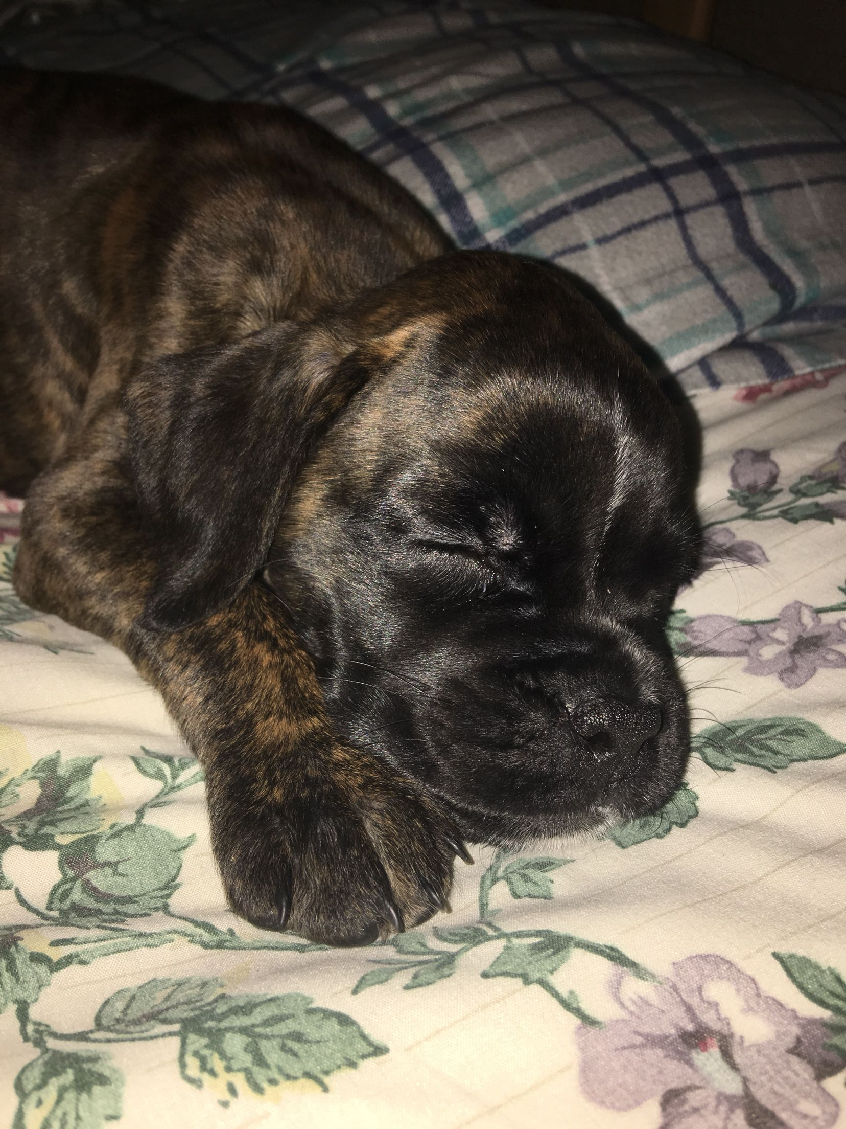 Rayna Baby Boxer Reverse Brindle Beautiful Coat Precious Face Boxer Dogs Boxer Puppies Boxer Dogs Brindle