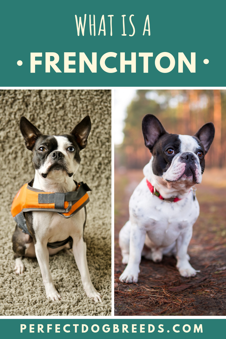 What Is A Frenchton In 2020 Frenchton Dog Mixed Breed Dogs French Bulldog Mix