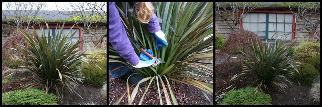 Stop dont prune that grass how to prune ornamental grasses right how to prune phormium or flax fountain grassphoto tutorialornamental workwithnaturefo