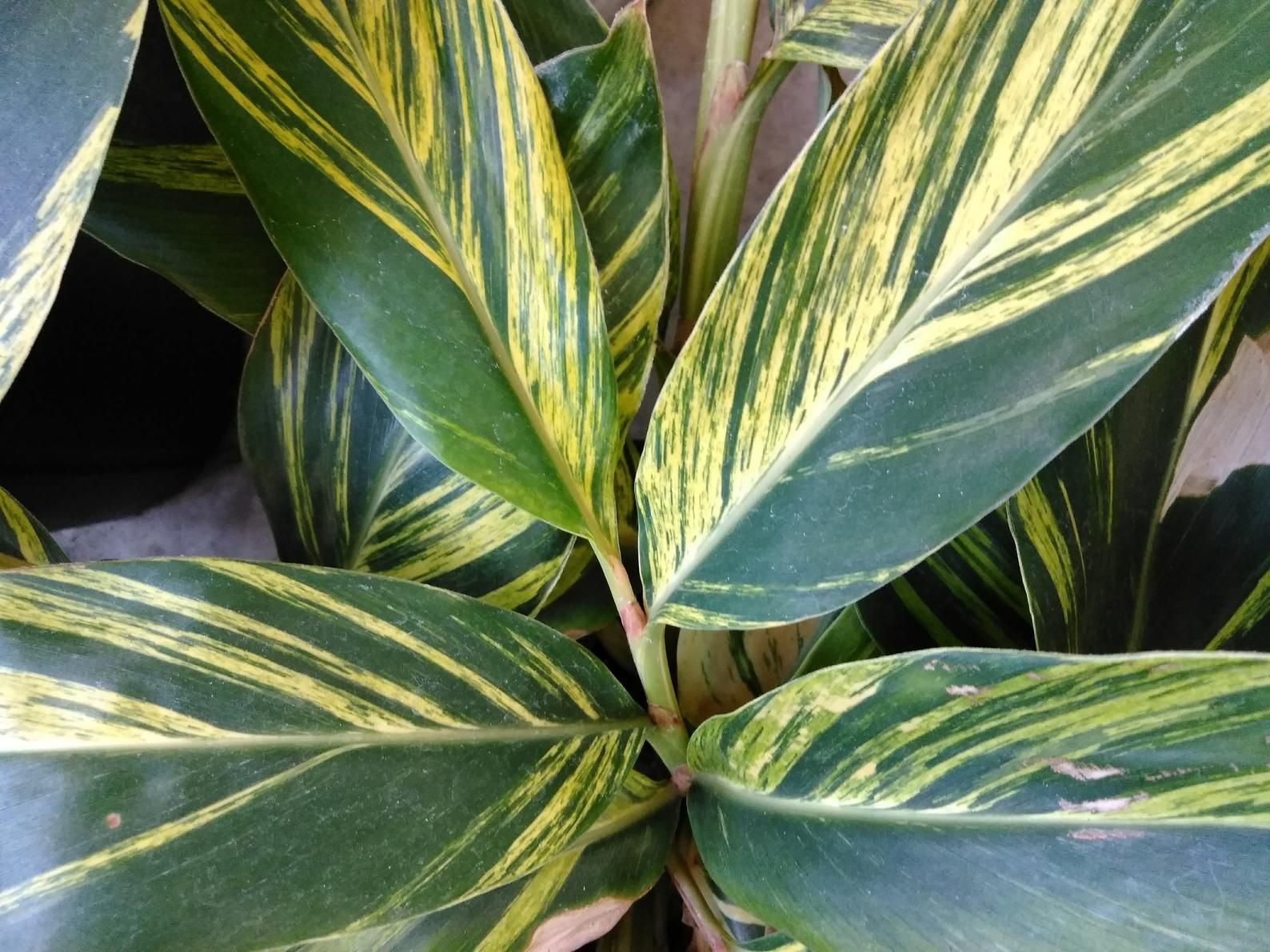 Variegated Shell Ginger Alpinia Zerumbet Variegata Live House Plant 1 Gal Live House Plants Plants House Plants