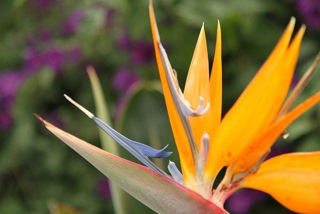 Blue Tongue Dragon Flower Unique Flowers Flowers Garden
