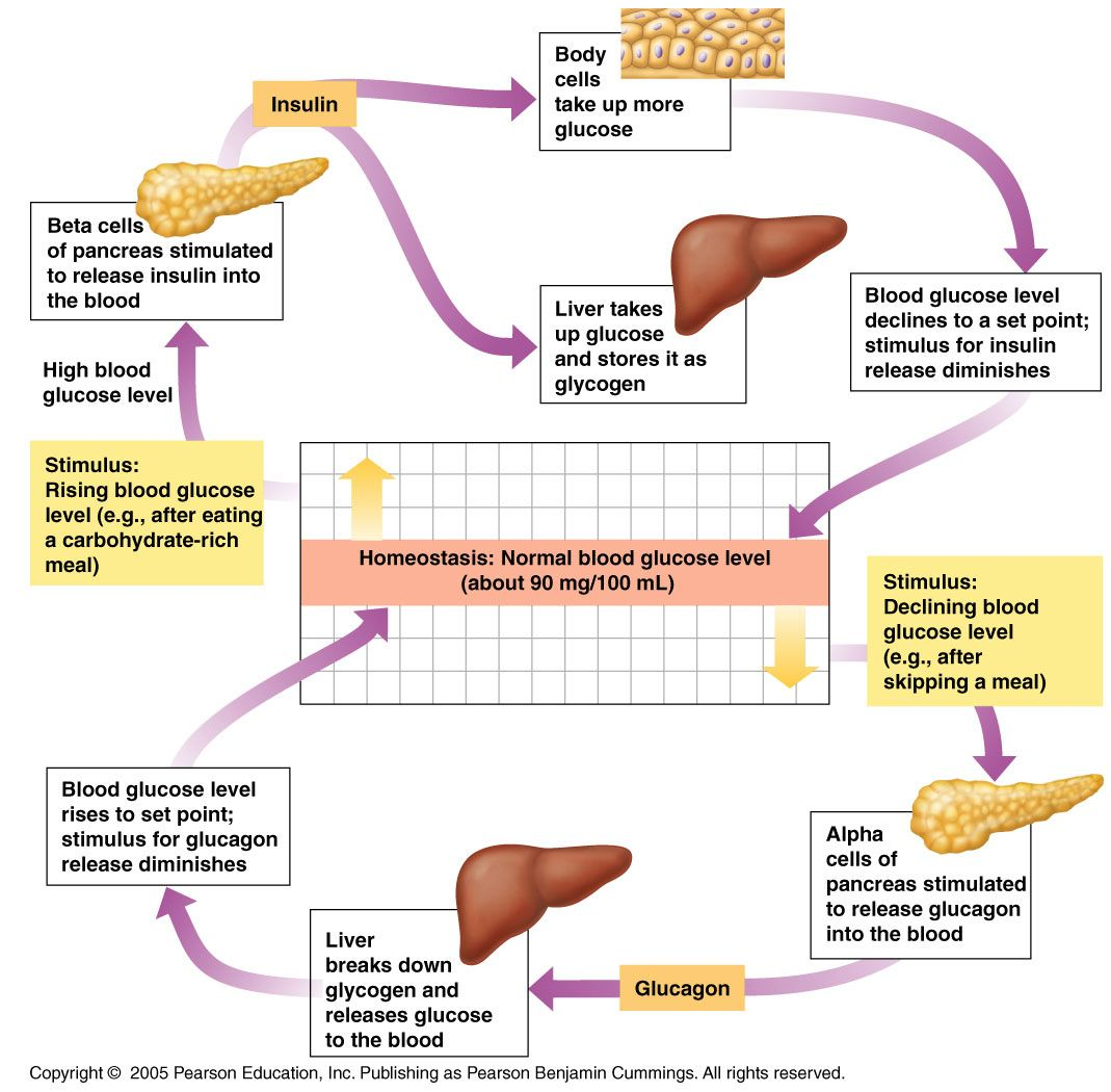 Regulation Of Glucose Levels In Blood