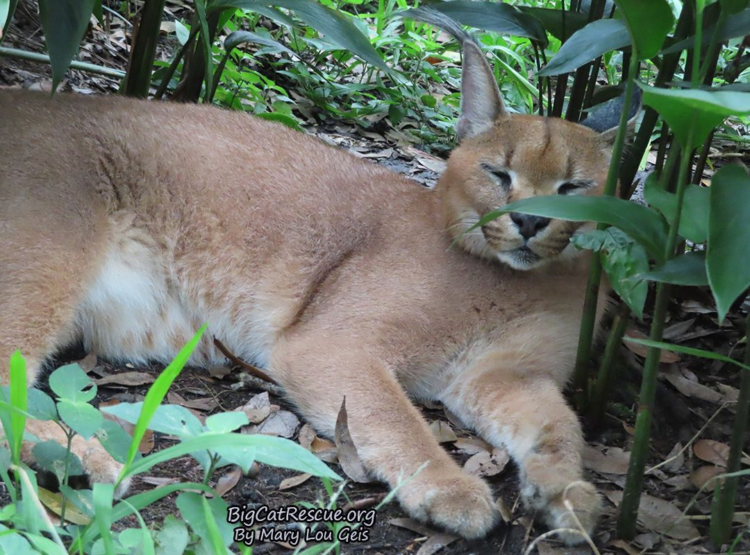 Cyrus Caracal makes the most adorable trill sound! Cute