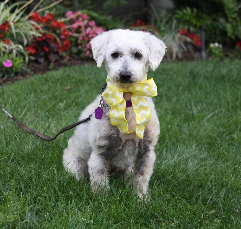 Adopt Buttercup On Petfinder Dog Adoption Dogs Poodle Dog