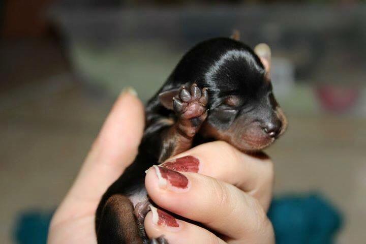 Newborn Pup Rottie Newborn Puppies Puppies Baby Puppies