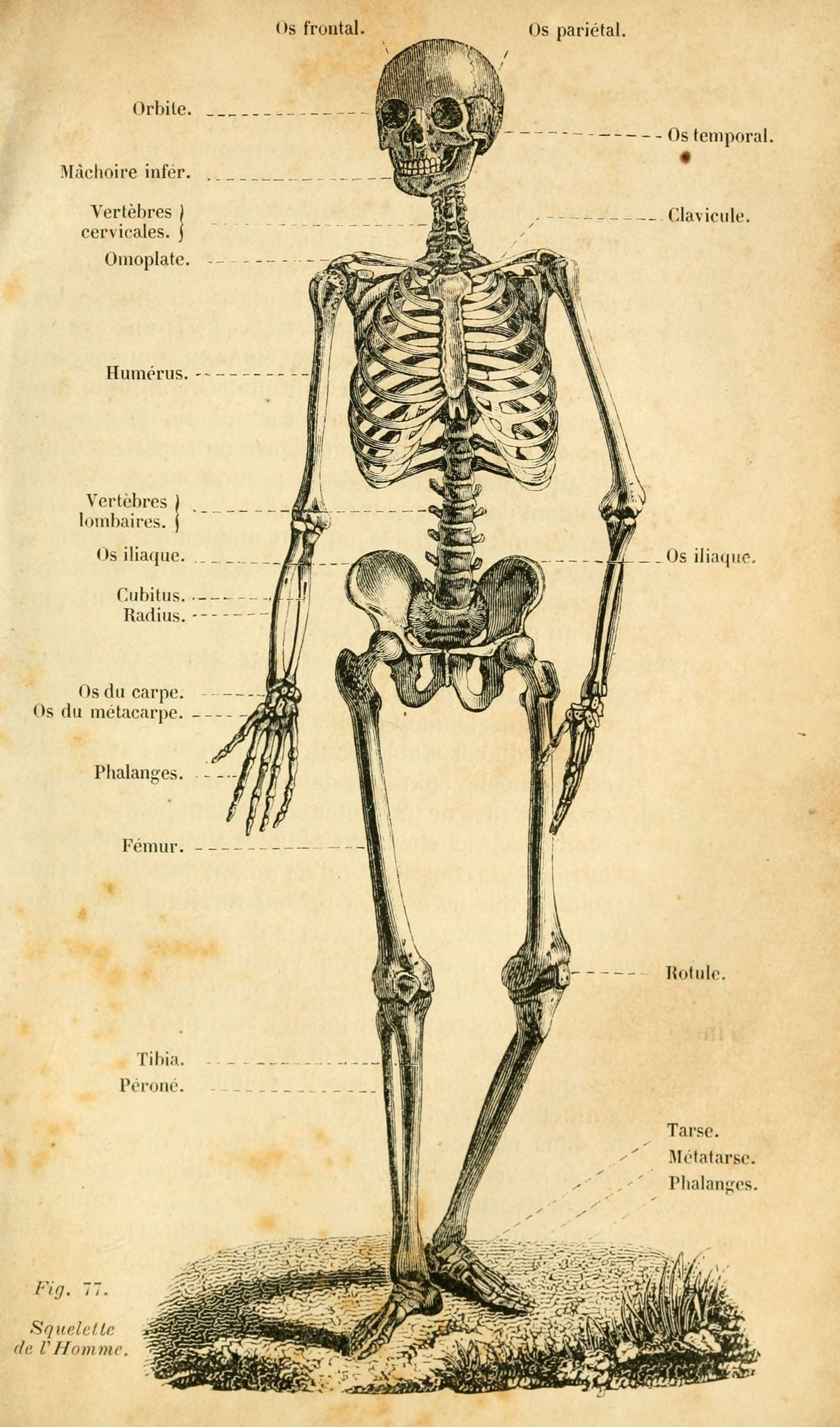 dessins scolaires zoologie dessins scolaires zoologie 199 squelette de l homme gravures. Black Bedroom Furniture Sets. Home Design Ideas