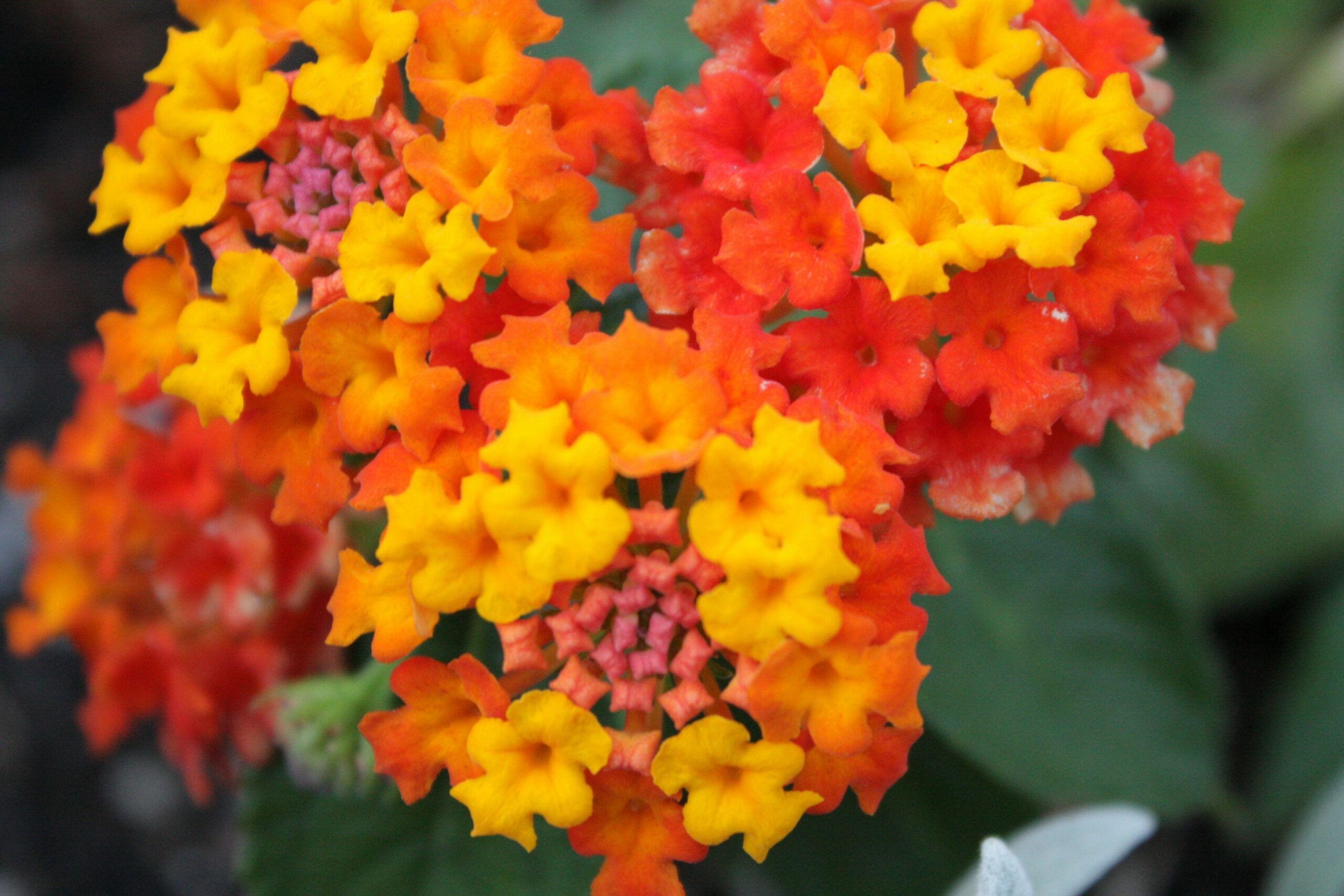 The Worst Advices We Ve Heard For Lantana Flowers Edible In 2020 Lantana Plant Lantana Flower Lantana