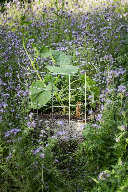 Kurbis Im Garten Anbauen Pflanzen Pflegen Ernten Und Lagern Garten Pflanzen Pflanzen Garten Anlegen