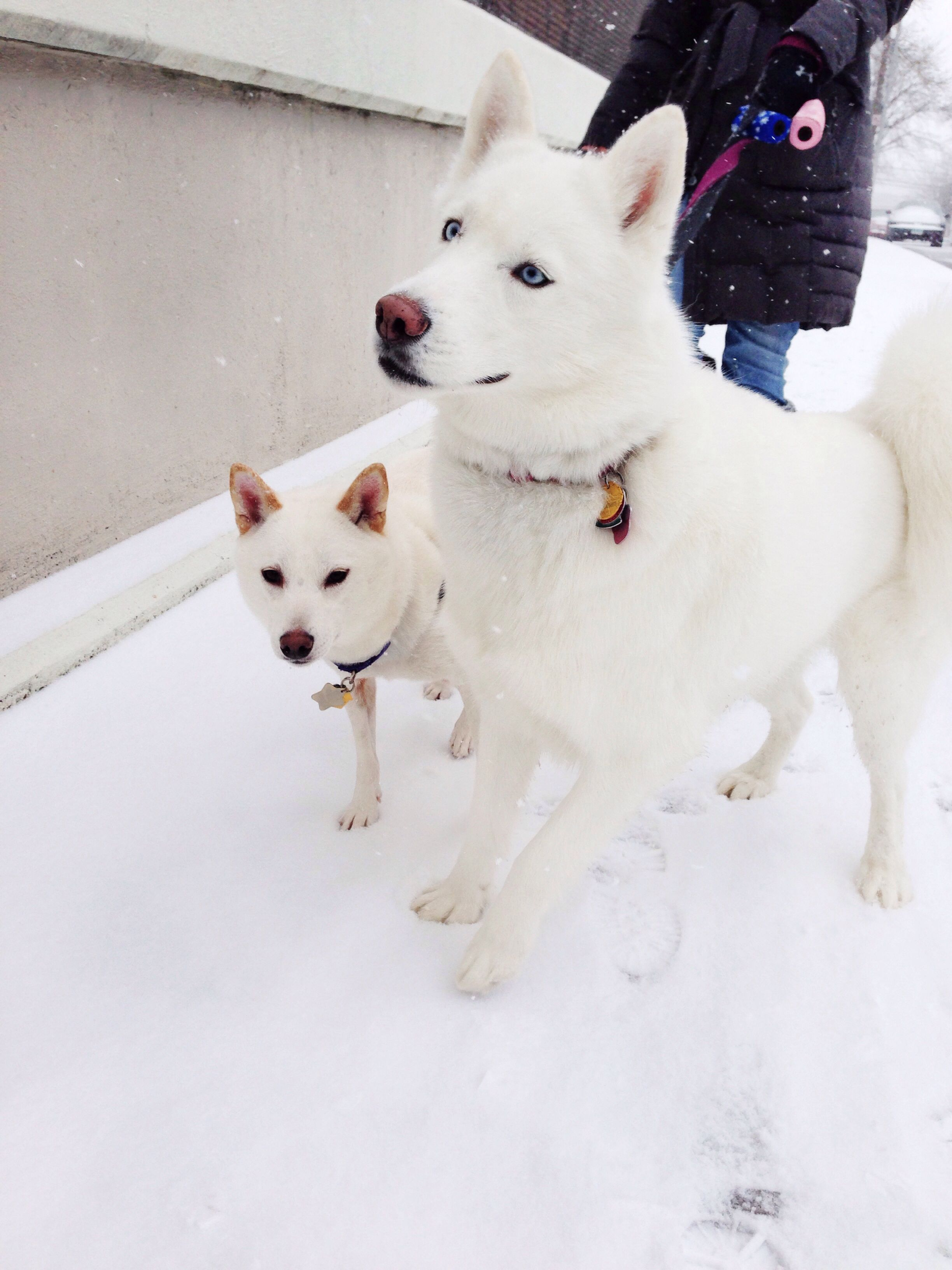 Siberian Husky And Shiba Inu Kira And Yuki Cutest Animals Ever