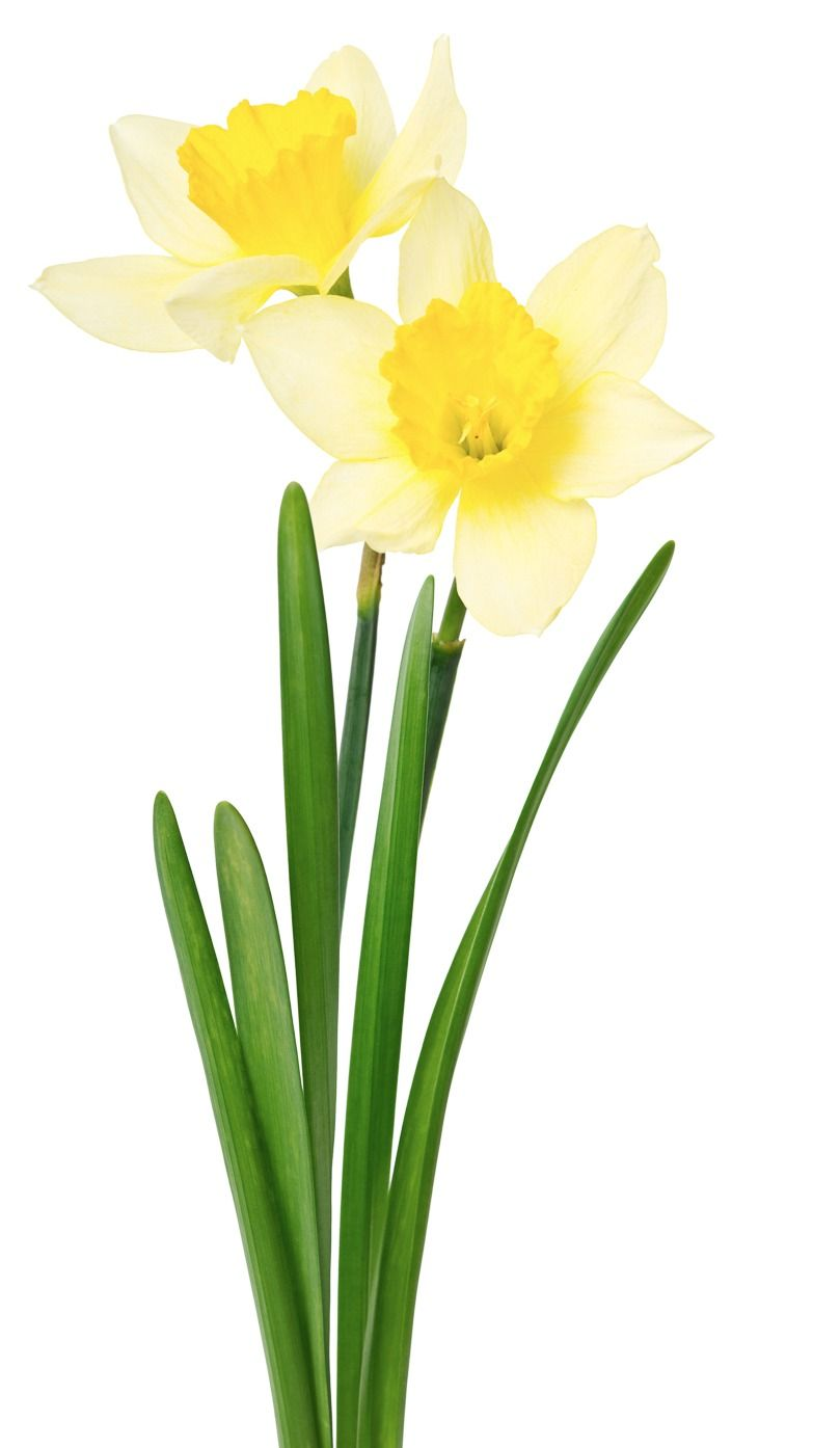 Wedding Flowers Daffodil. BIRTHDAY MONTH March. COLORS