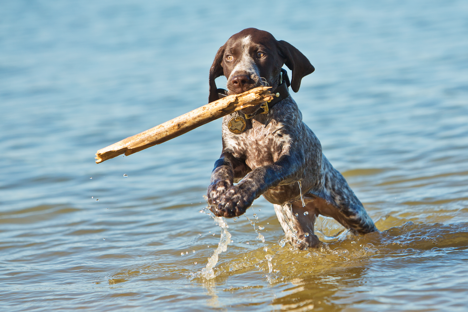 German Shorthaired Pointer in the water