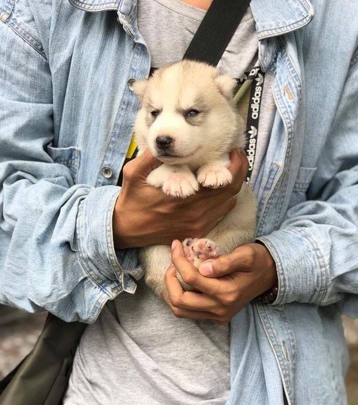 Cute White Siberian Husky Puppies Husky Puppy Husky Siberian