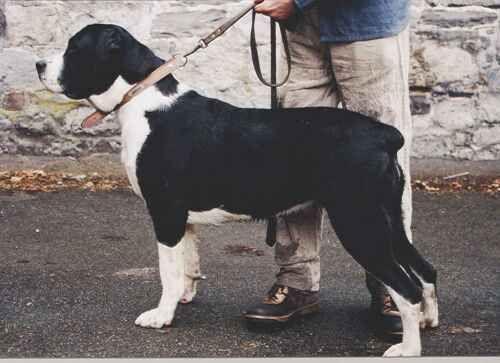 Belgian Draft Mastiff Unique Dog Breeds Rare Dog Breeds Hybrid