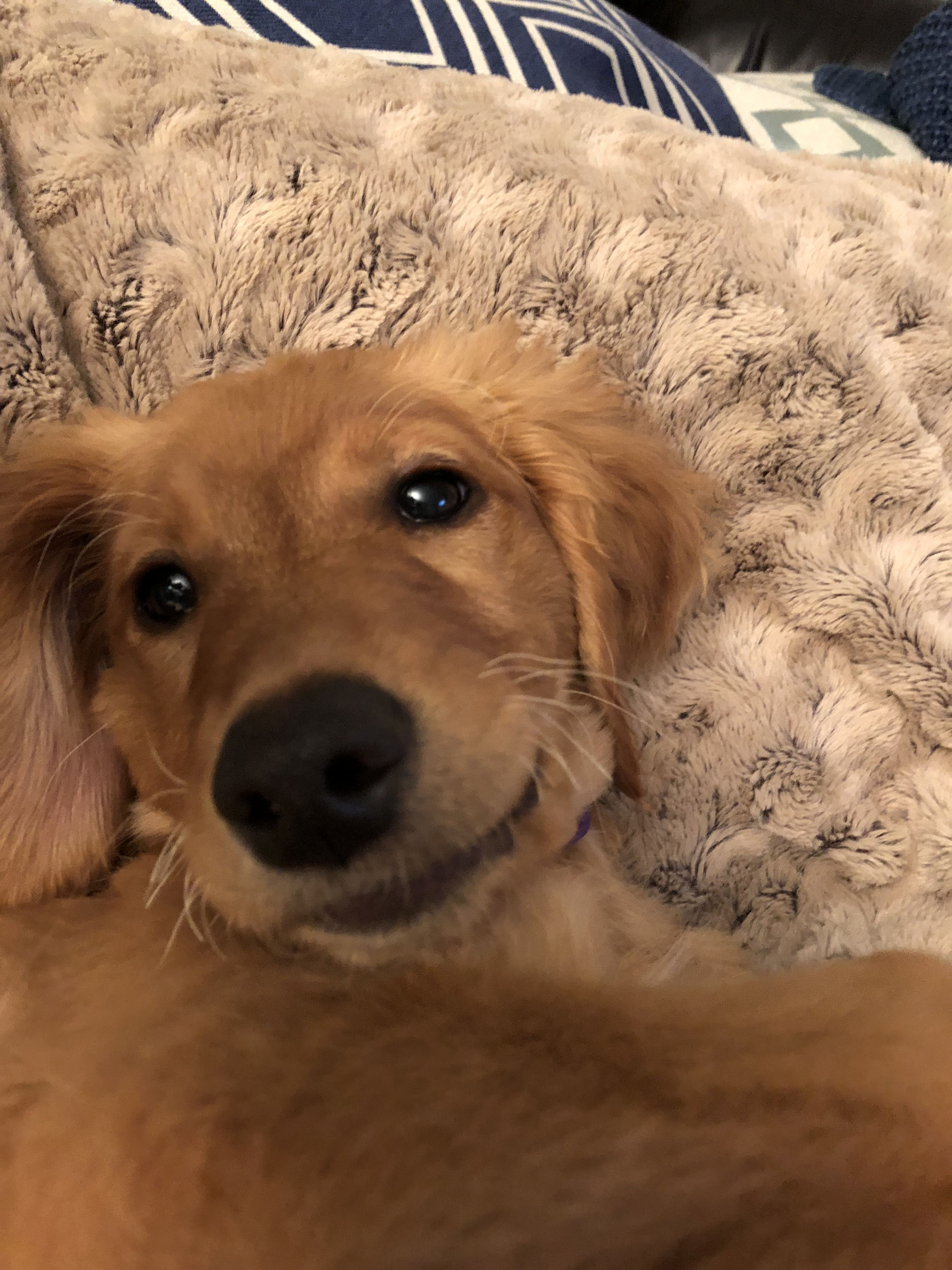 Pin by Kari Hunter on Zoey Golden retriever, Retriever, Dogs