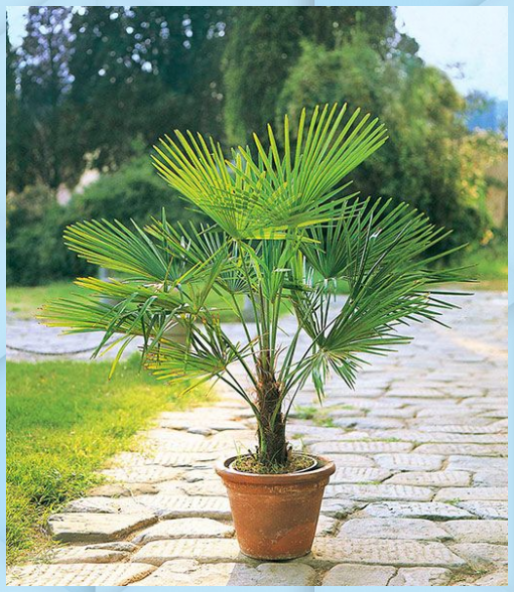Winterharte Kubel Palme 1a Kubelpflanzen B Garten Pflanzen Winterharte Kubel Palme 1a Kubelpflanzen Garten Pfla In 2020 Garten Pflanzen Kubelpflanzen Pflanzen