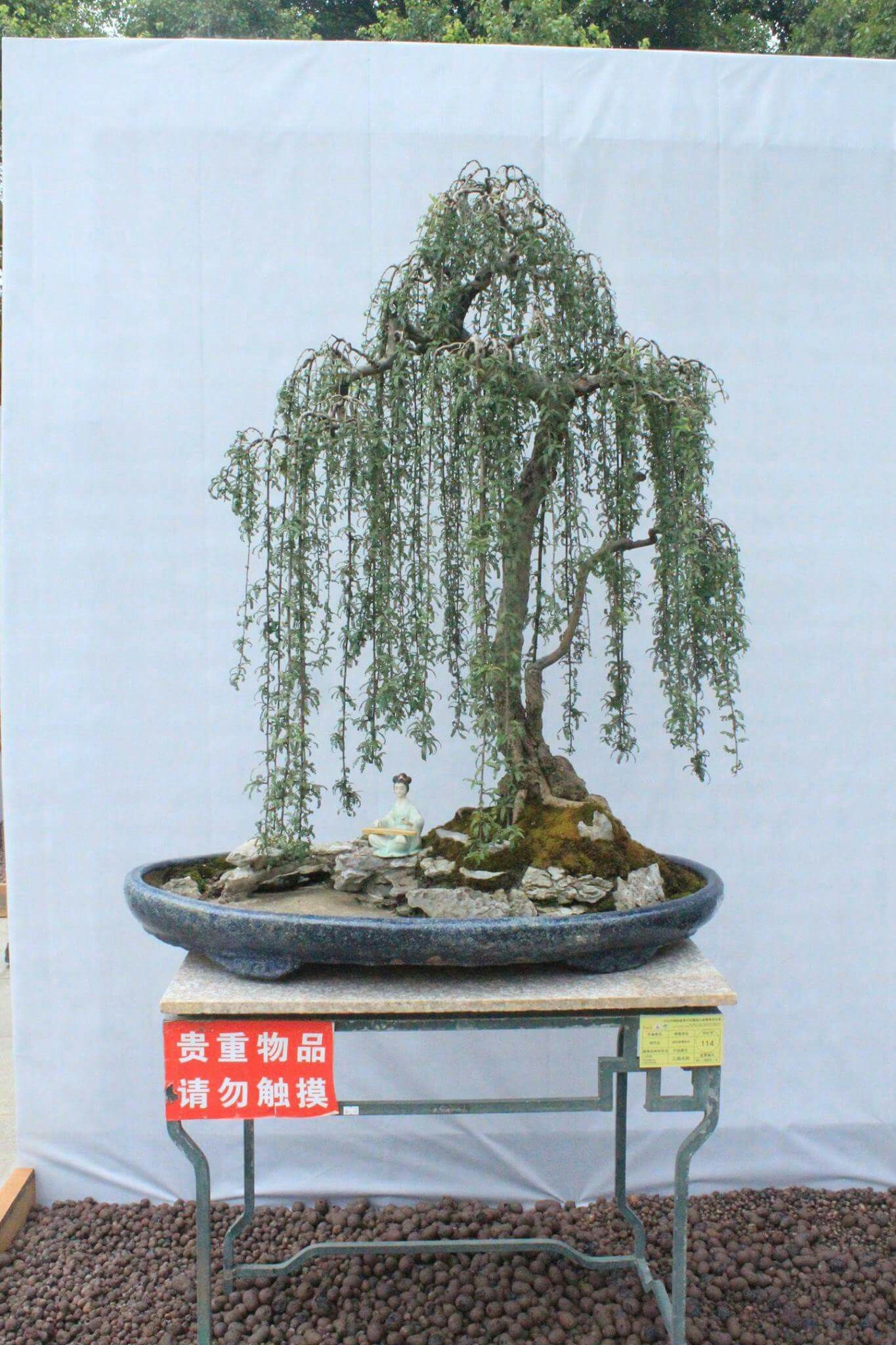 Find this Pin and more on bonsai