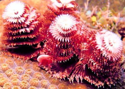 Christmas Tree Worms Tree Christmas Tree Flowers