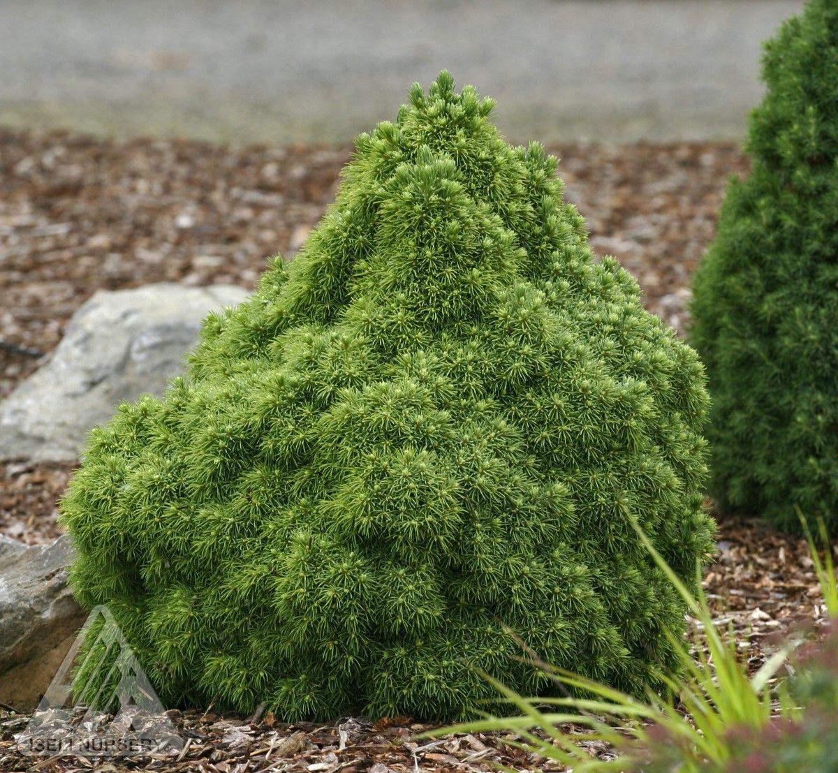 Picea glauca humpty dumpty dwarf alberta spruce dwarf bonsai reviewsmspy