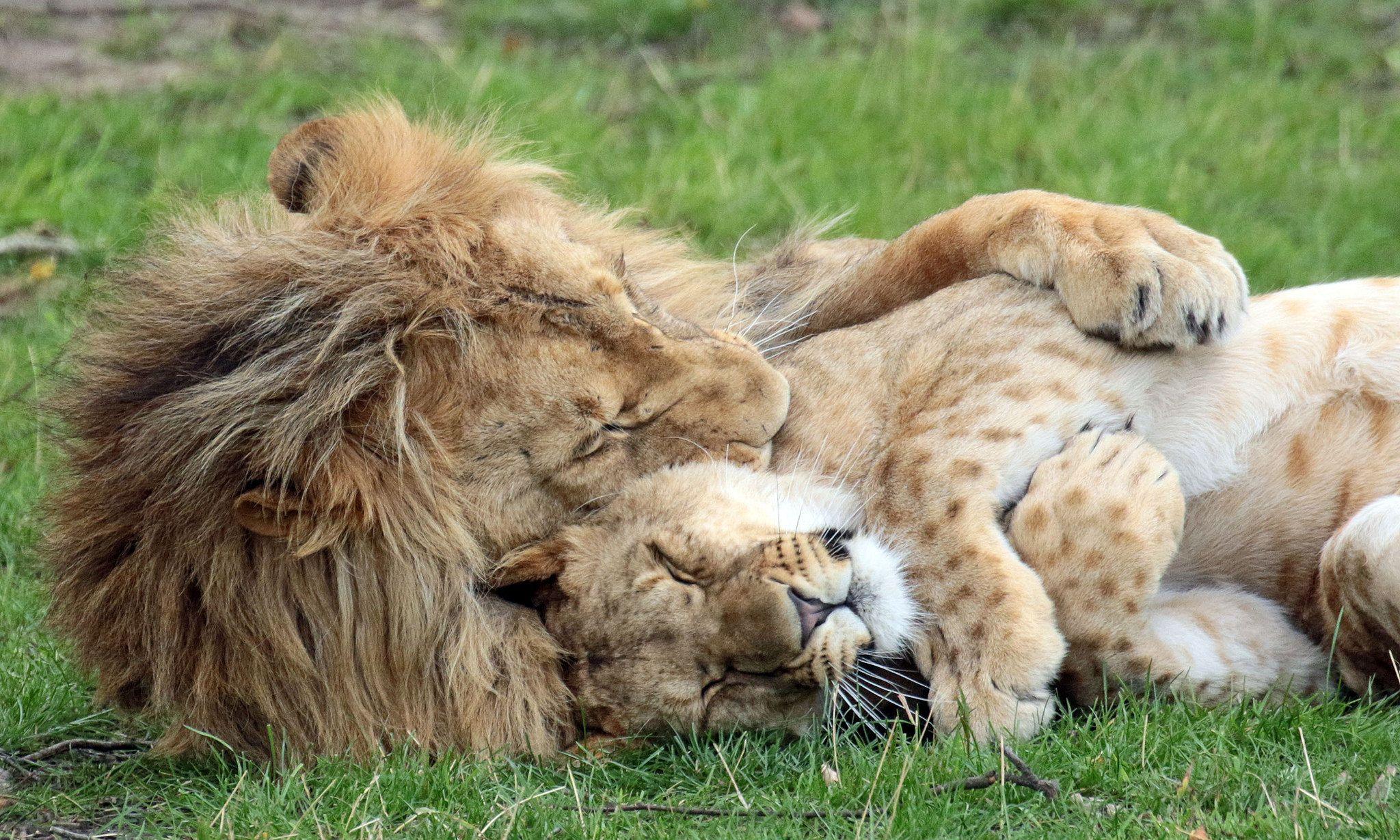 Красивая картинка лев и кот
